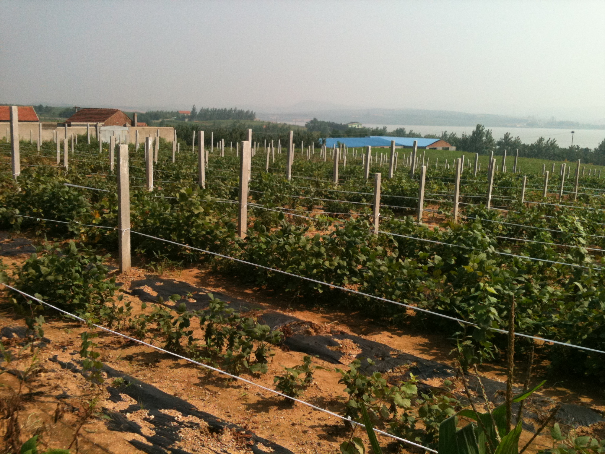 Creating a European Wine Region in Shandong